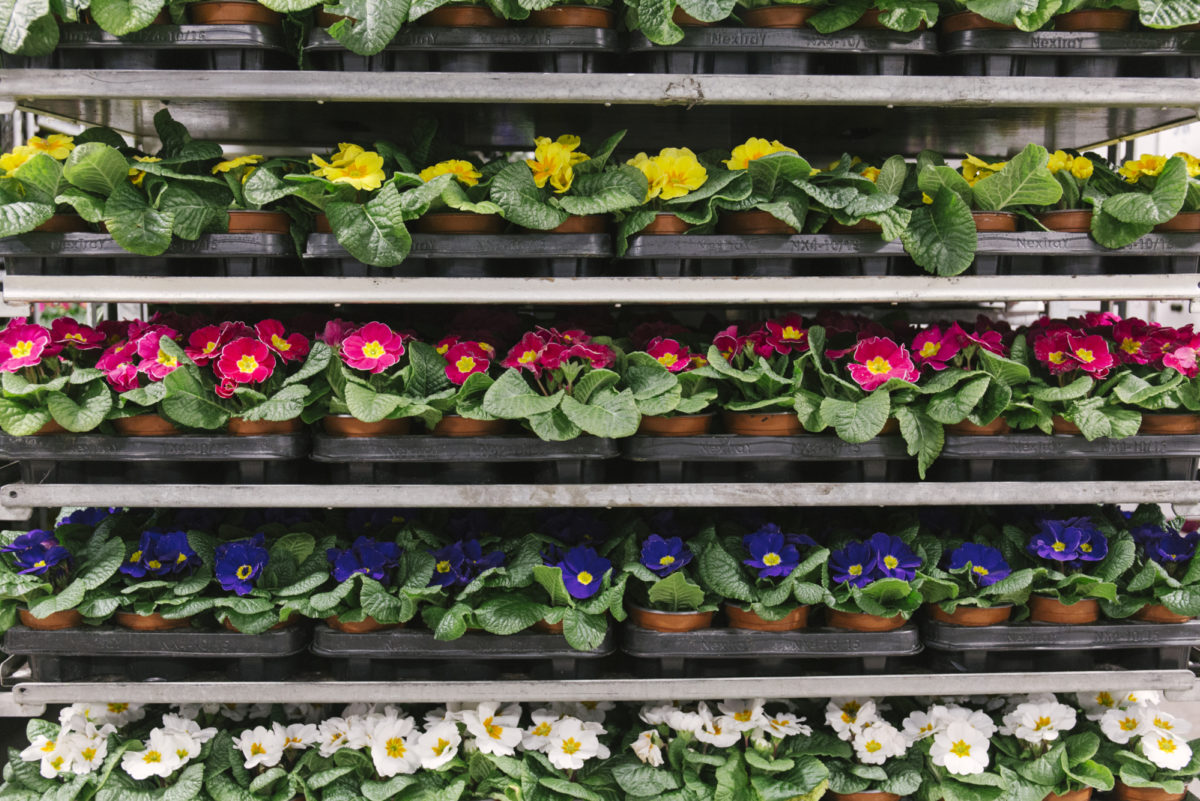 New Covent Garden Flower Market February 2019 In Season Report Rona Wheeldon Flowerona Primulas In Pots At Evergreen Exterior Services