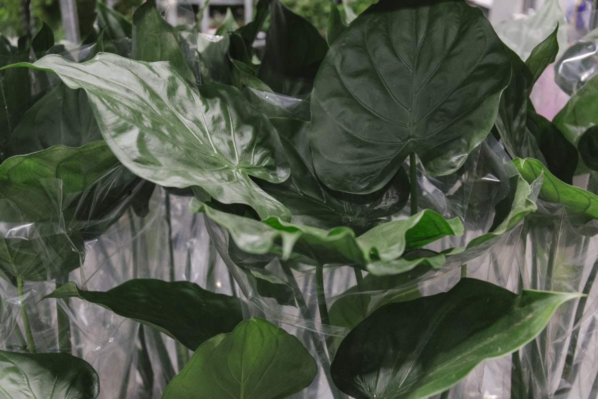 New Covent Garden Flower Market February 2019 In Season Report Rona Wheeldon Flowerona Tall Alocasia Plants At Quality Plants