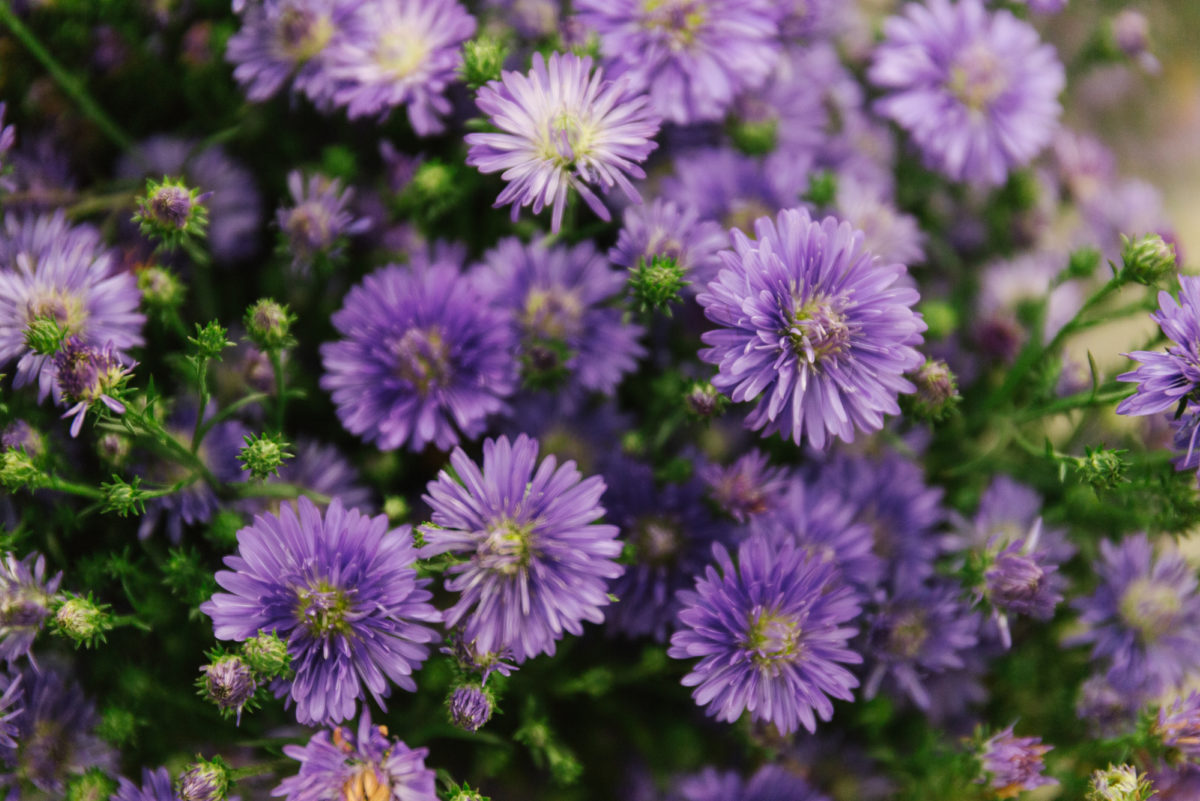 New Covent Garden Flower Market In Season Report November 2017 Rona Wheeldon Flowerona Aster Astee Dark Milka At A Goodchild