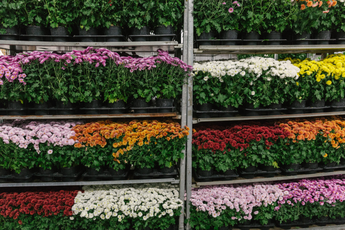 New Covent Garden Flower Market In Season Report November 2017 Rona Wheeldon Flowerona British Chrysanthemum Plants At L  Mills