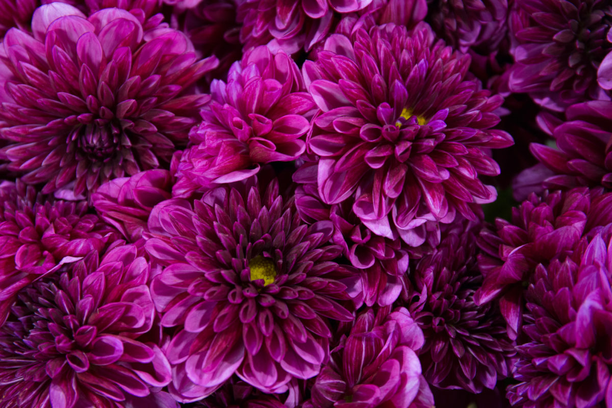 New Covent Garden Flower Market In Season Report November 2017 Rona Wheeldon Flowerona Dahlia Lilac Bull At Zest Flowers