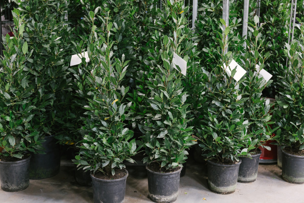 New Covent Garden Flower Market In Season Report November 2017 Rona Wheeldon Flowerona Laurus Nobilis Bay Trees At Evergreen