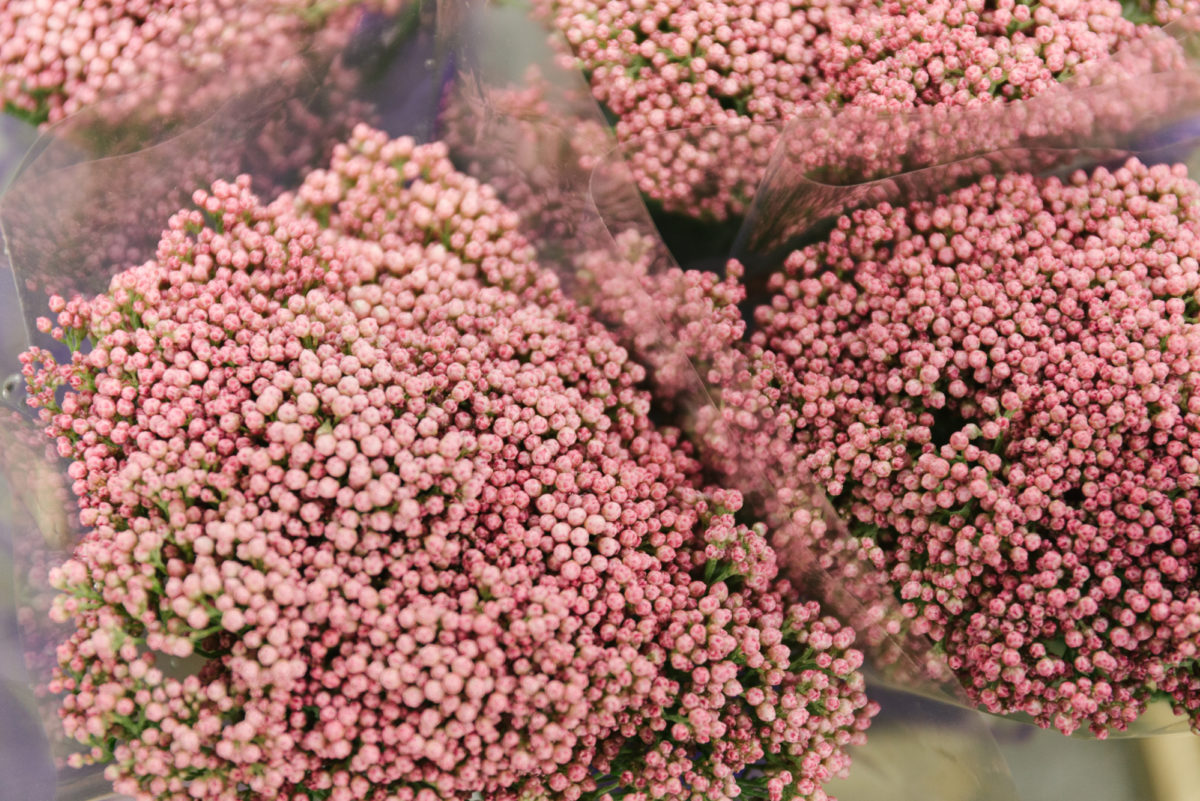New Covent Garden Flower Market In Season Report November 2017 Rona Wheeldon Flowerona Pink Rice Flower Ozothamnus Diosmifolius At Bloomfield