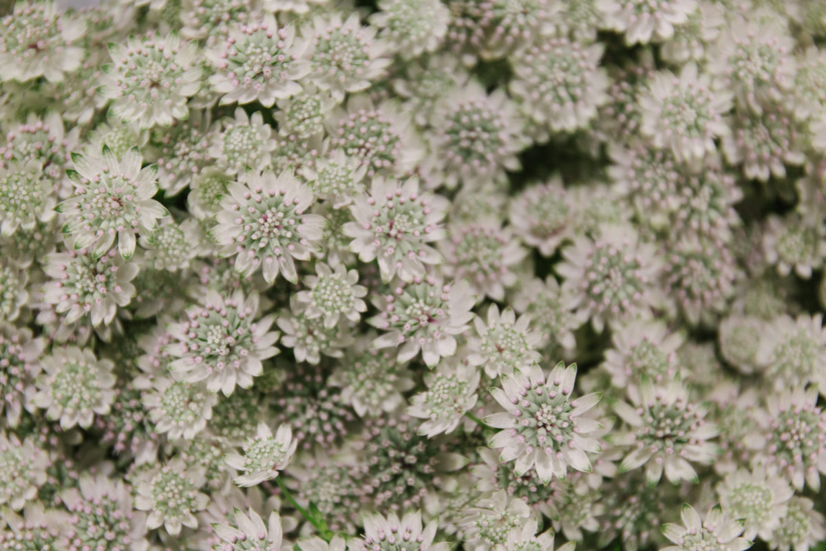 New Covent Garden Flower Market January 2018 In Season Report Rona Wheeldon Flowerona Astrantia Major ' Million Stars' At Bloomfield
