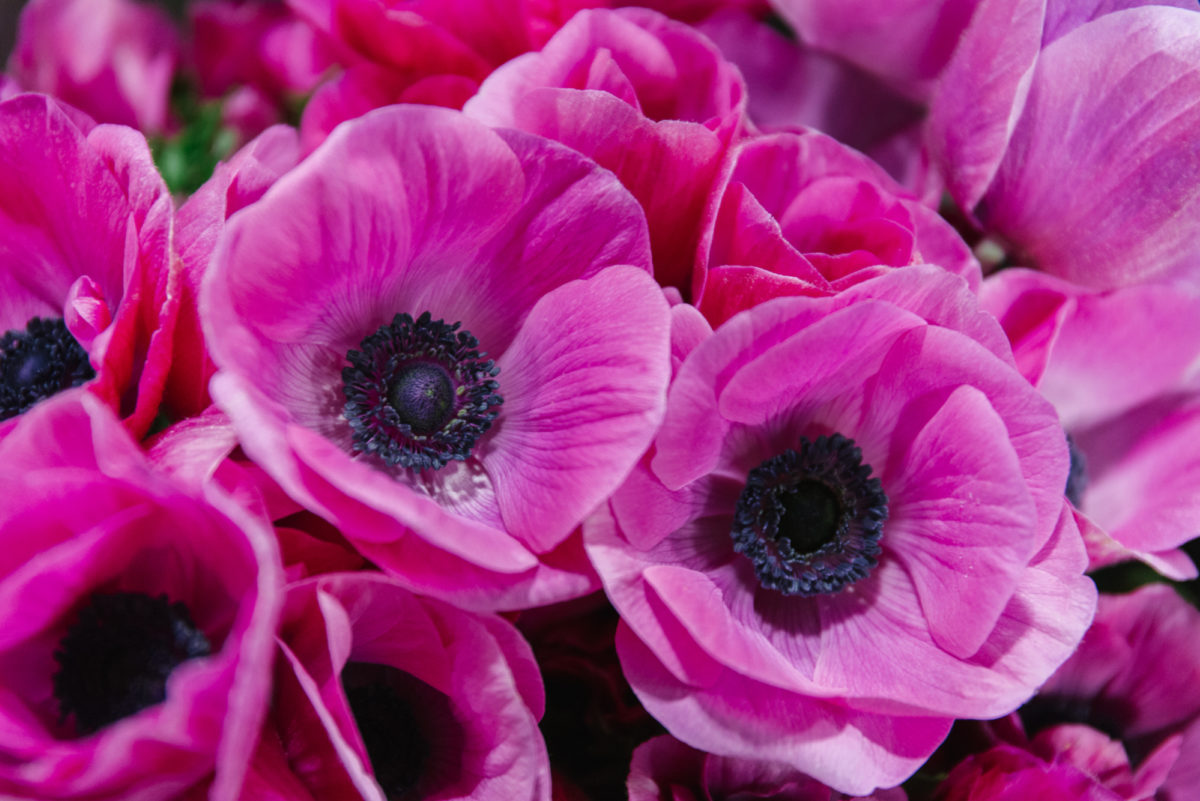 New Covent Garden Flower Market January 2018 In Season Report Rona Wheeldon Flowerona Cerise Anemone Coronaria Cristina At D G Wholesale Flowers