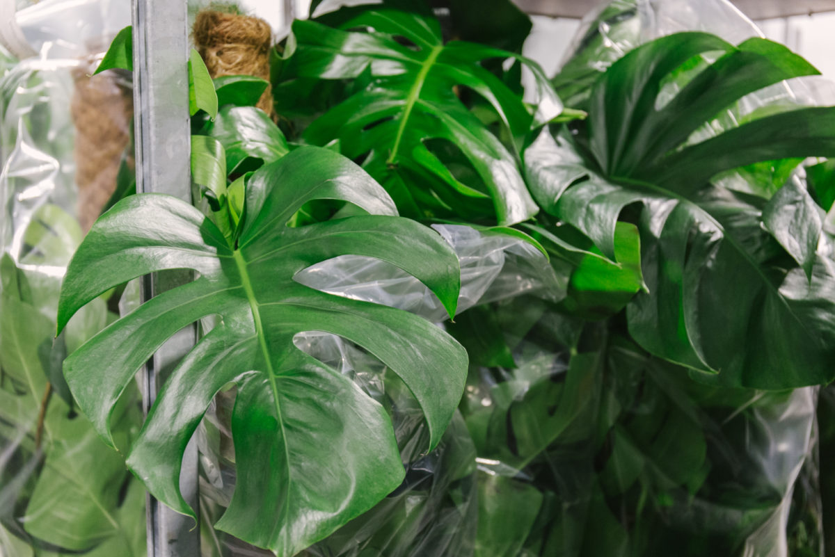 New Covent Garden Flower Market January 2018 In Season Report Rona Wheeldon Flowerona Monstera Pertusum At Arnott Mason