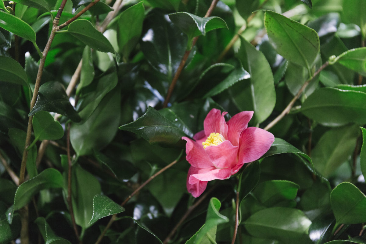 New Covent Garden Flower Market January 2019 In Season Report Rona Wheeldon Flowerona British Camellia Foliage At Gb Foliage
