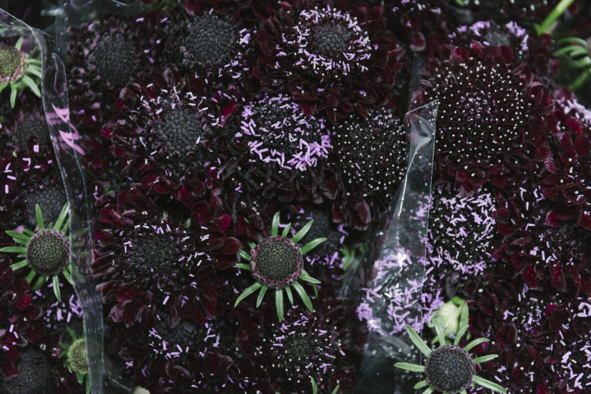 New Covent Garden Flower Market January 2019 In Season Report Rona Wheeldon Flowerona Scabiosa Blackberry Scoop At D G Wholesale Flowers