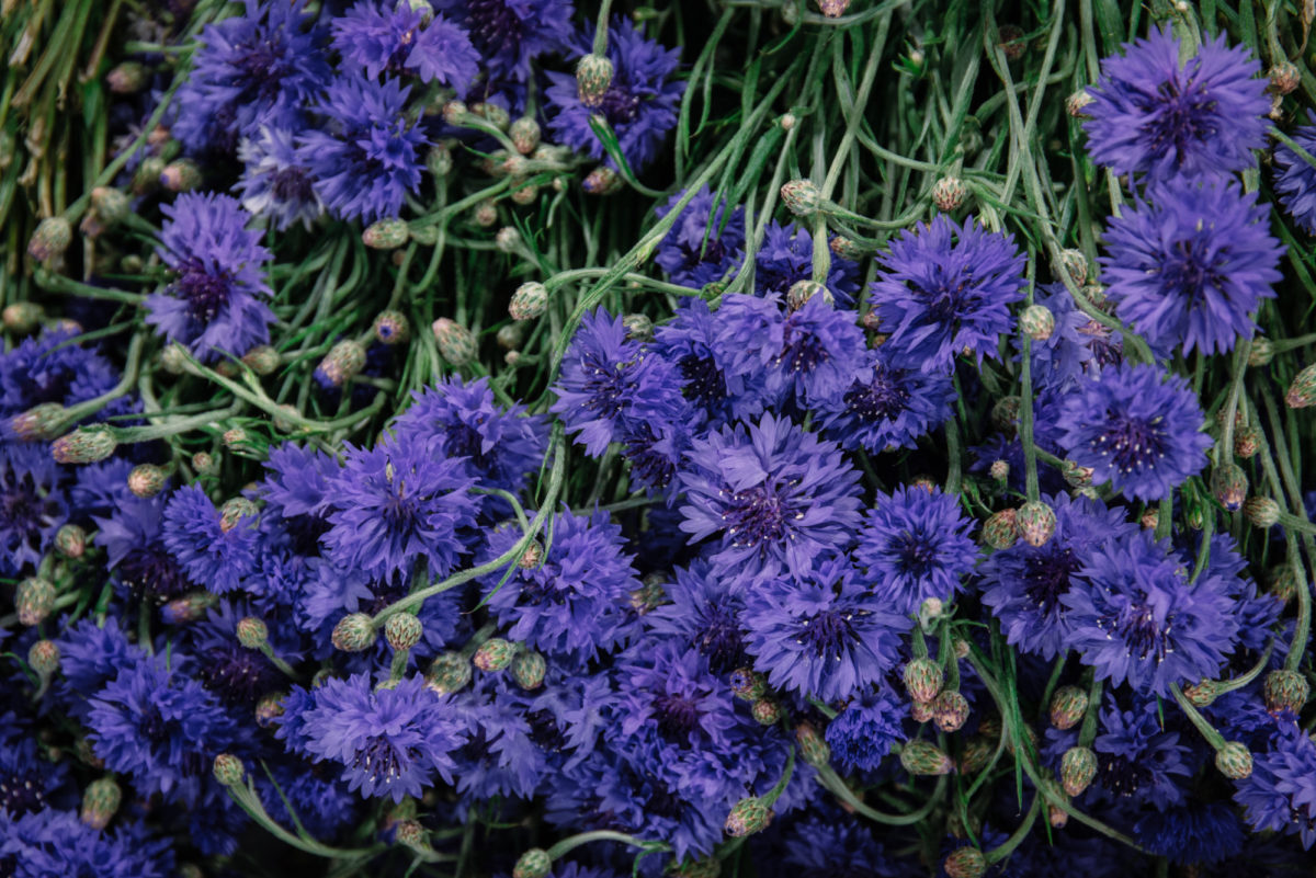 New Covent Garden Flower Market July 2018 A Florists Guide To Ultra Violet Pantone Colour Of The Year 2018 Rona Wheeldon Flowerona British Blue Cornflowers At Pratley