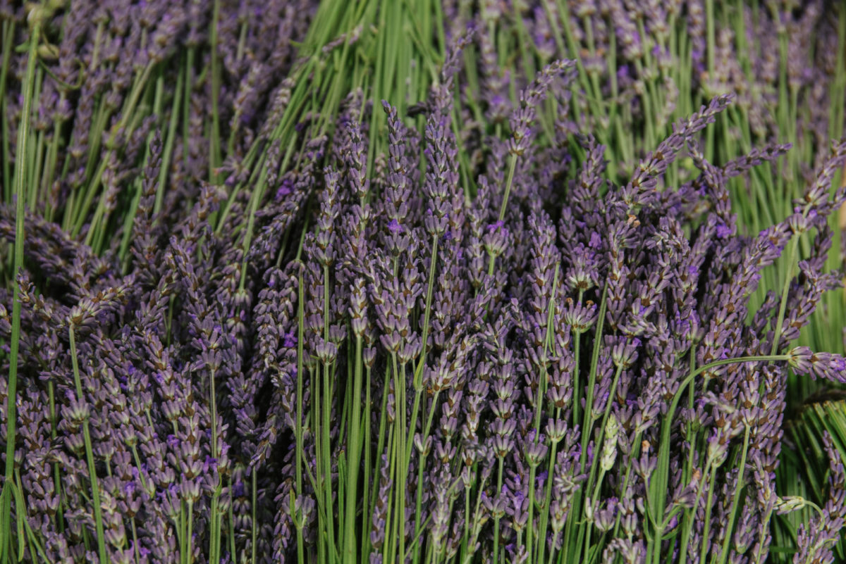 New Covent Garden Flower Market July 2018 A Florists Guide To Ultra Violet Pantone Colour Of The Year 2018 Rona Wheeldon Flowerona British Lavender At Pratley