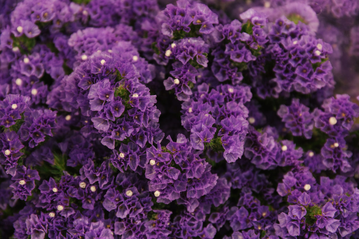 New Covent Garden Flower Market July 2018 A Florists Guide To Ultra Violet Pantone Colour Of The Year 2018 Rona Wheeldon Flowerona Limonium Crystal Dark Blue At Floral Garden Group A Goodchild Ltd