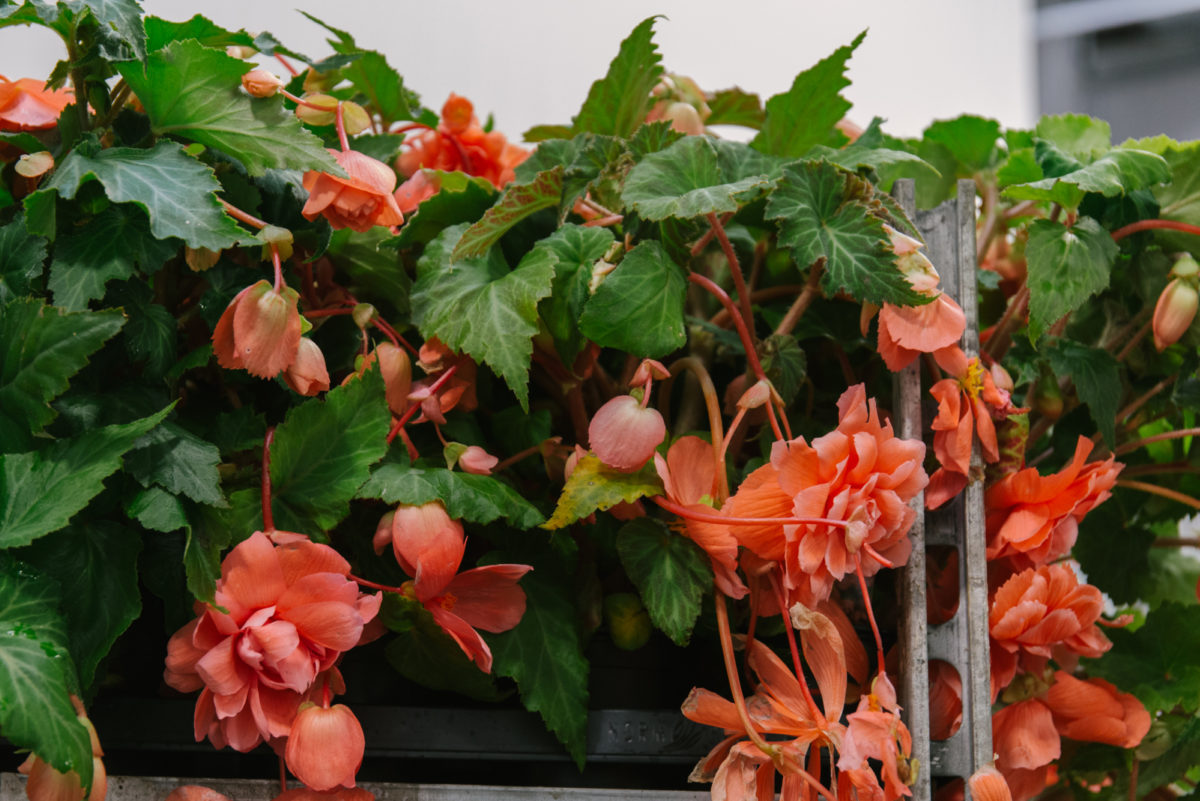 New Covent Garden Flower Market July 2018 In Season Report Rona Wheeldon Flowerona British Begonia Plants At L Mills