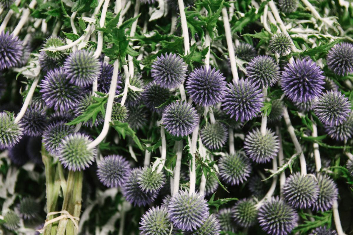 New Covent Garden Flower Market July 2018 In Season Report Rona Wheeldon Flowerona British Echinops At Pratley