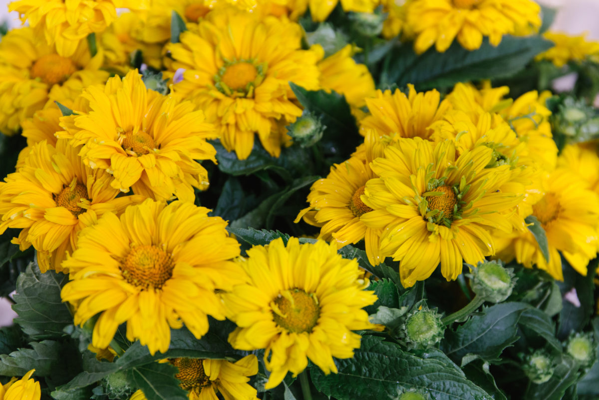 New Covent Garden Flower Market July 2018 In Season Report Rona Wheeldon Flowerona British Heliopsis Helianthoides At Zest Flowers