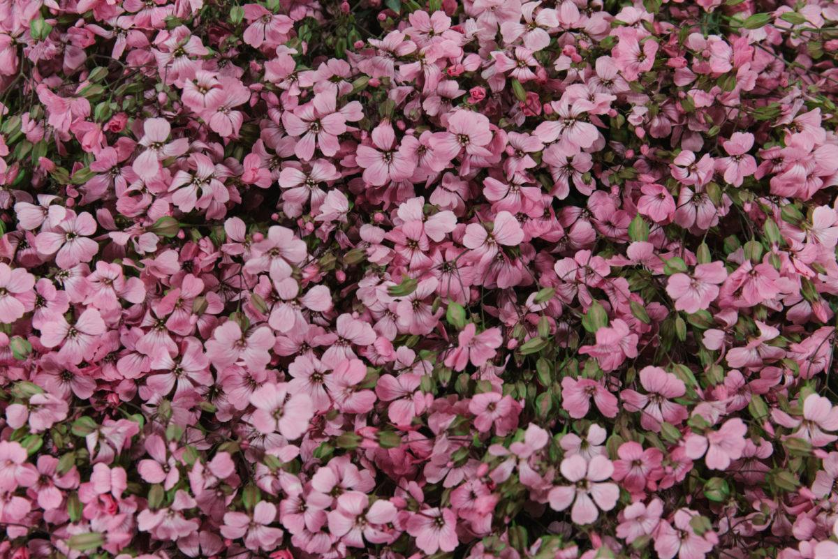 New Covent Garden Flower Market July 2018 In Season Report Rona Wheeldon Flowerona British Pink Saponaria At Pratley
