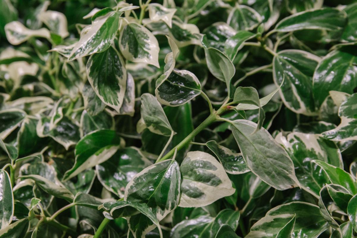 New Covent Garden Flower Market July 2018 In Season Report Rona Wheeldon Flowerona British Variegated Ivy At Porters Foliage