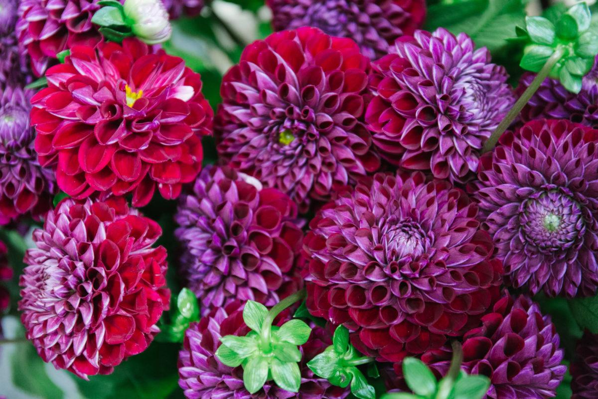 New Covent Garden Flower Market July 2018 In Season Report Rona Wheeldon Flowerona Dahlia Ivanetti At Bloomfield