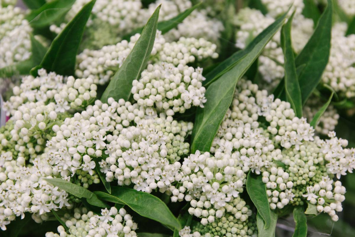 New Covent Garden Flower Market July 2018 In Season Report Rona Wheeldon Flowerona White Asclepias Incarnata Ice Ballet At Zest Flowers