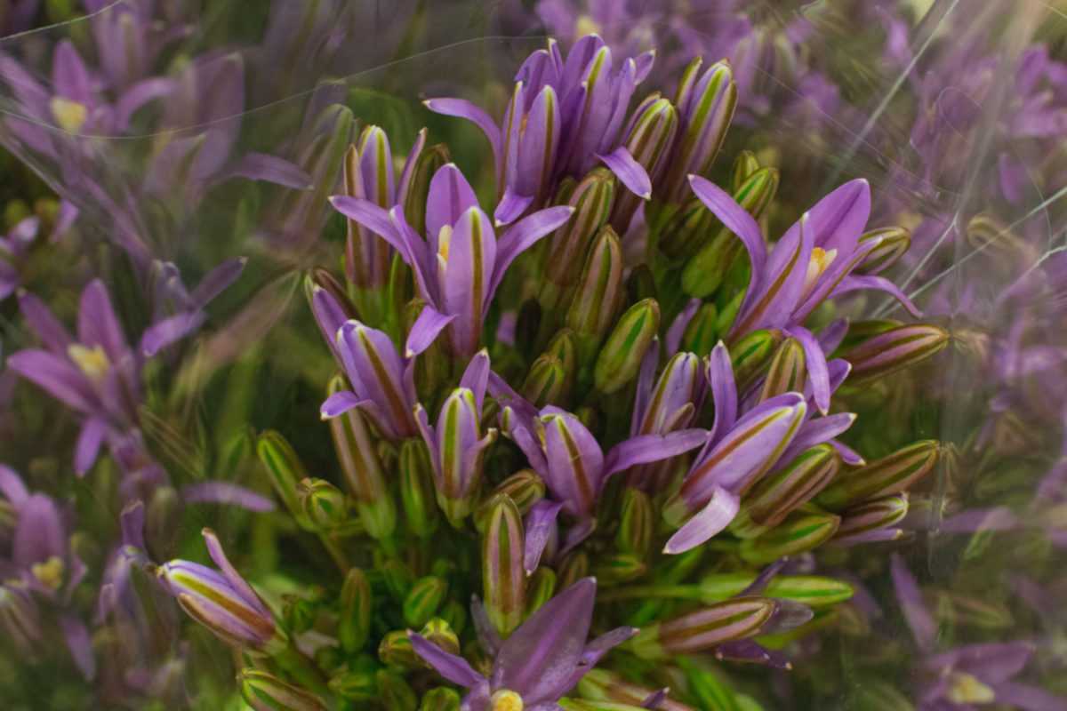 New Covent Garden Flower Market July 2018 Market Report Flowerona Brodiaea ' Babylon Pink' Also Known As Triteleia At D G Wholesale Flowers