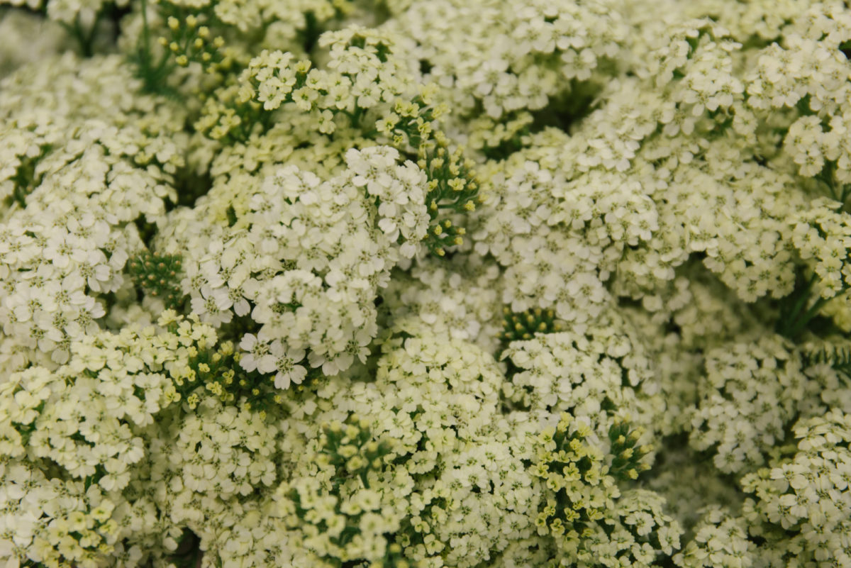 New Covent Garden Flower Market June 2018 In Season Report Rona Wheeldon Flowerona Achillea Millefolium Yuna At Bloomfield