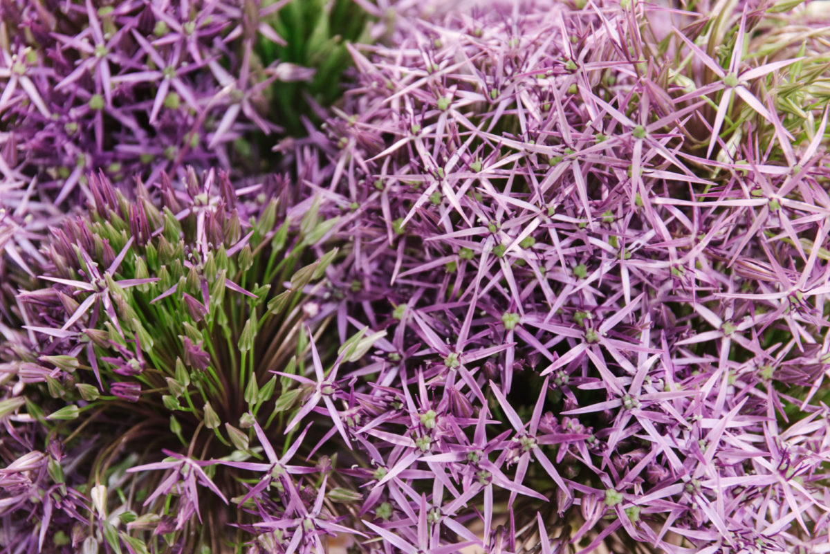 New Covent Garden Flower Market June 2018 In Season Report Rona Wheeldon Flowerona British Alliums At Zest Flowers