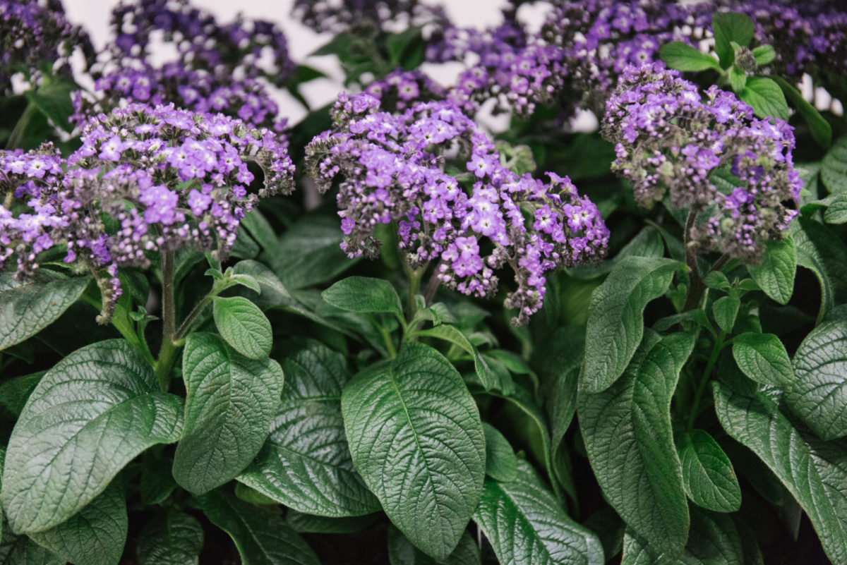 New Covent Garden Flower Market June 2018 In Season Report Rona Wheeldon Flowerona British Blue Heliotrope Plants At L Mills