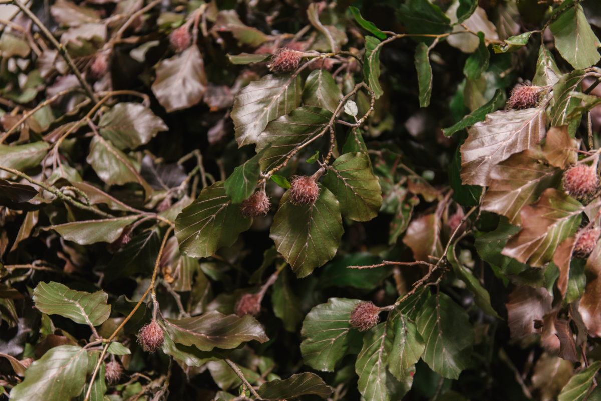 New Covent Garden Flower Market June 2018 In Season Report Rona Wheeldon Flowerona British Copper Beech At Gb Foliage