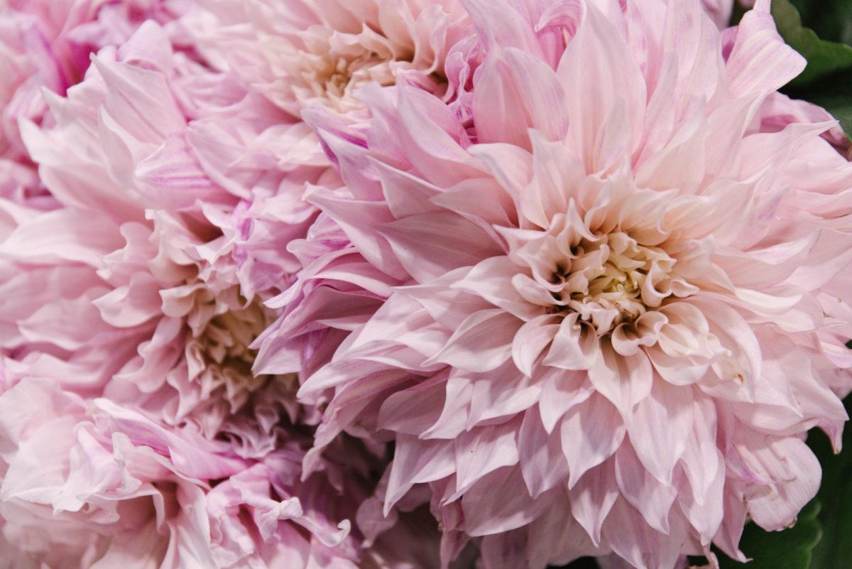 New Covent Garden Flower Market June 2018 In Season Report Rona Wheeldon Flowerona Cafe Au Lait Rose Dahlias At Bloomfield