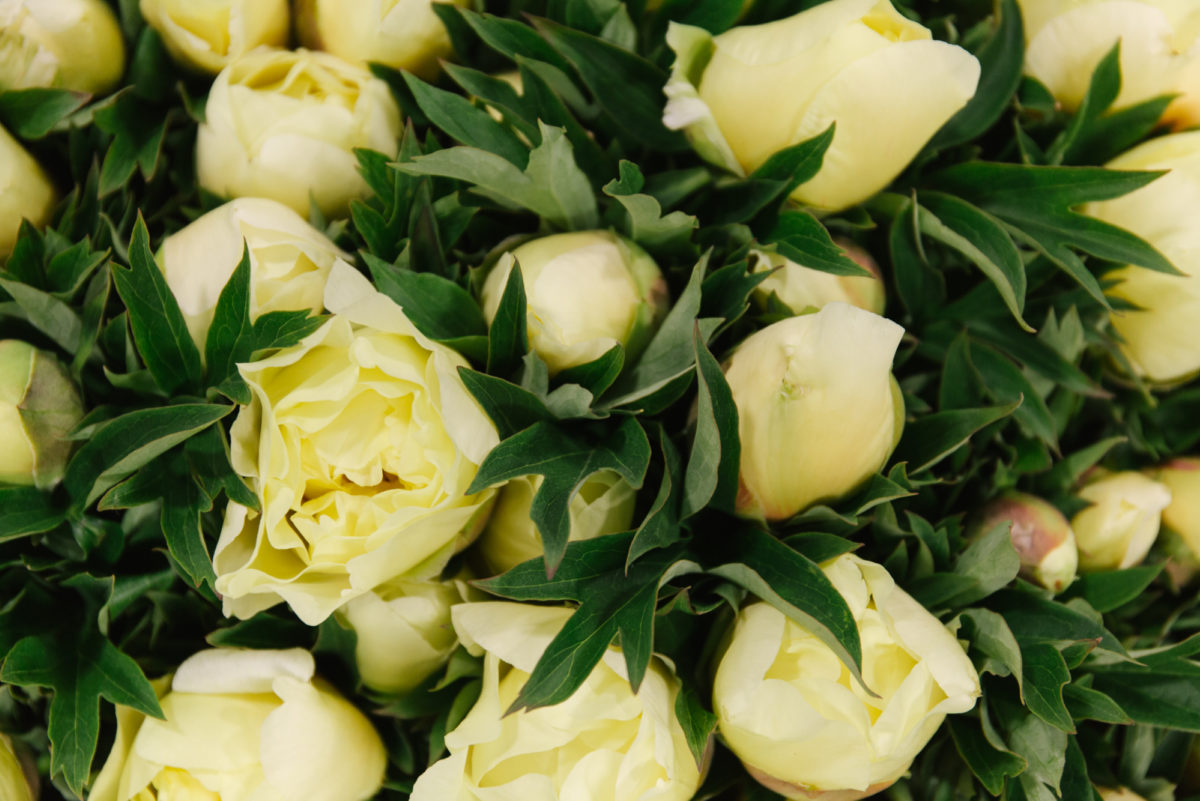 New Covent Garden Flower Market June 2018 In Season Report Rona Wheeldon Flowerona Peony Bartzella At Bloomfield