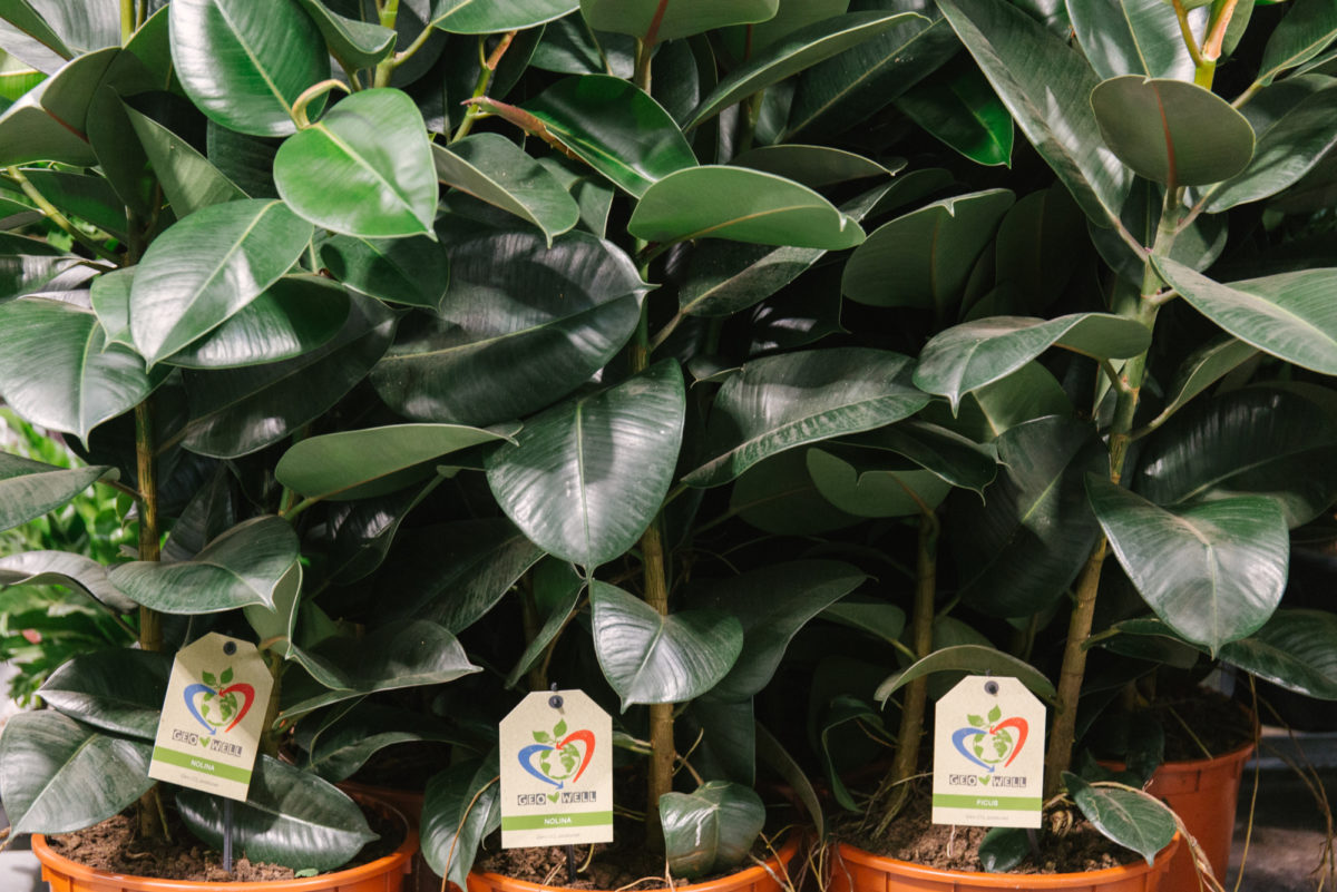 New Covent Garden Flower Market June 2018 In Season Report Rona Wheeldon Flowerona Tall Ficus Plants At Quality Plants