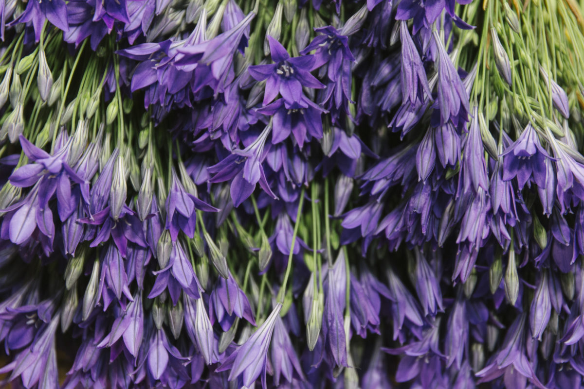 New Covent Garden Flower Market June 2019 A Florists Guide To British Flowers Rona Wheeldon Flowerona British Brodiaea At Pratley