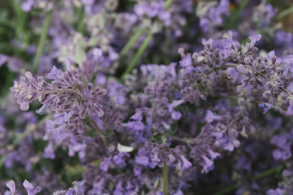 New Covent Garden Flower Market June 2019 A Florists Guide To British Flowers Rona Wheeldon Flowerona Catmint At Zest Flowers