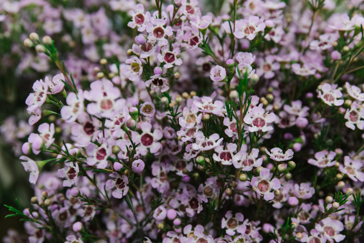 New Covent Garden Flower Market March 2018 A Florists Guide To Waxflower Rona Wheeldon Flowerona Chamelaucium Uncinatum Early Nir At Bloomfield 1
