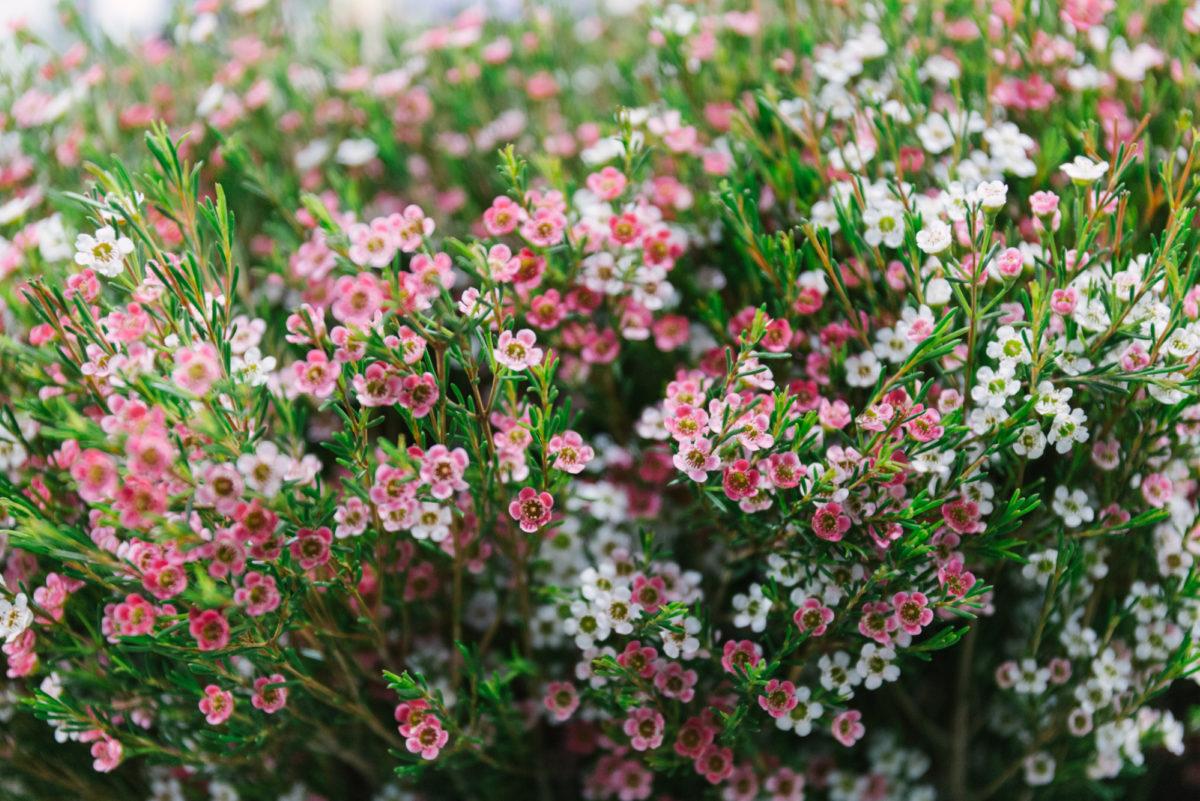 New Covent Garden Flower Market March 2018 A Florists Guide To Waxflower Rona Wheeldon Flowerona My Sweet 16 At Bloomfield 20