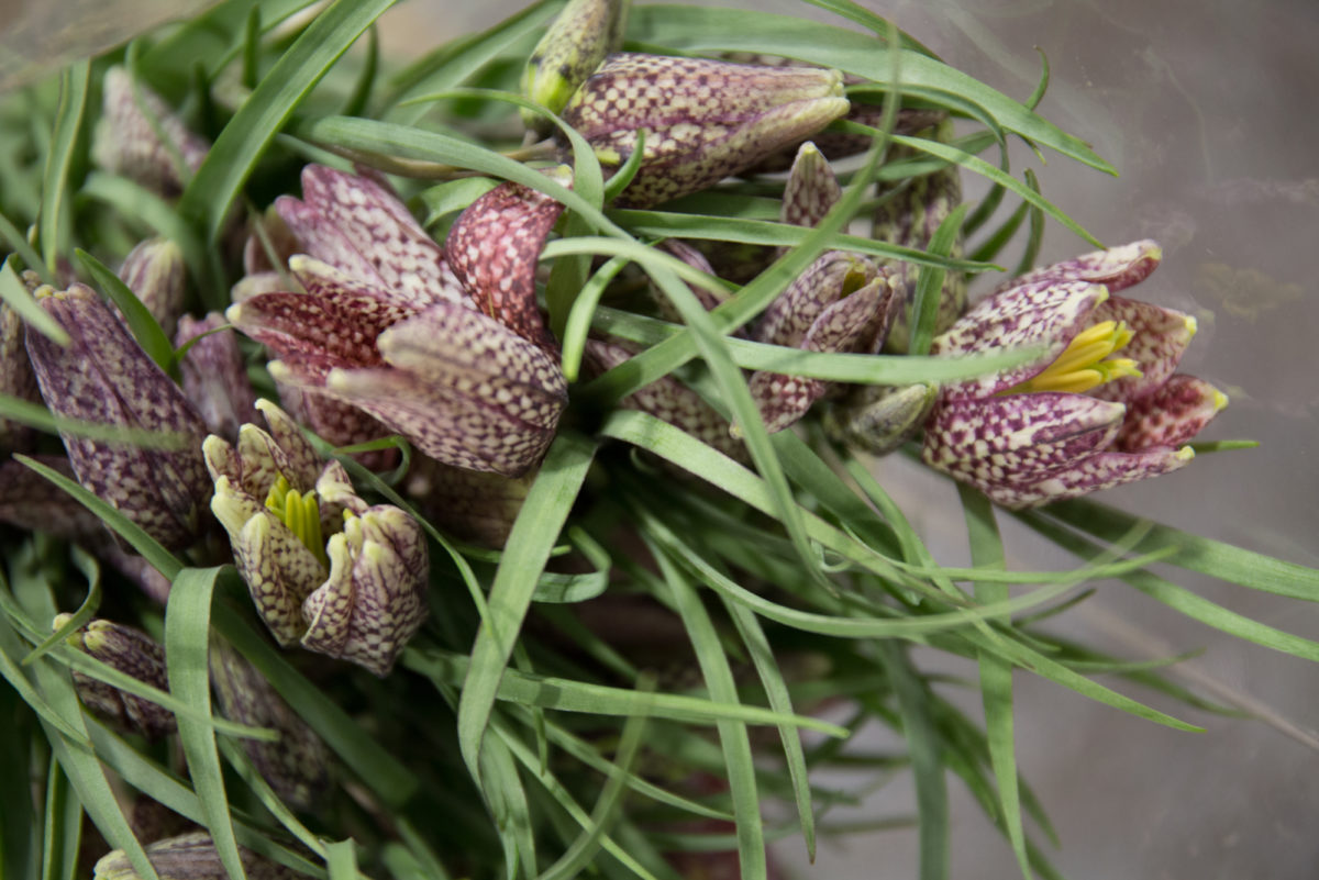 New Covent Garden Flower Market March 2018 In Season Report Rona Wheeldon Flowerona Fritillaria Meleagris Also Know As Snakes Head Fritillary At Bloomfield 1