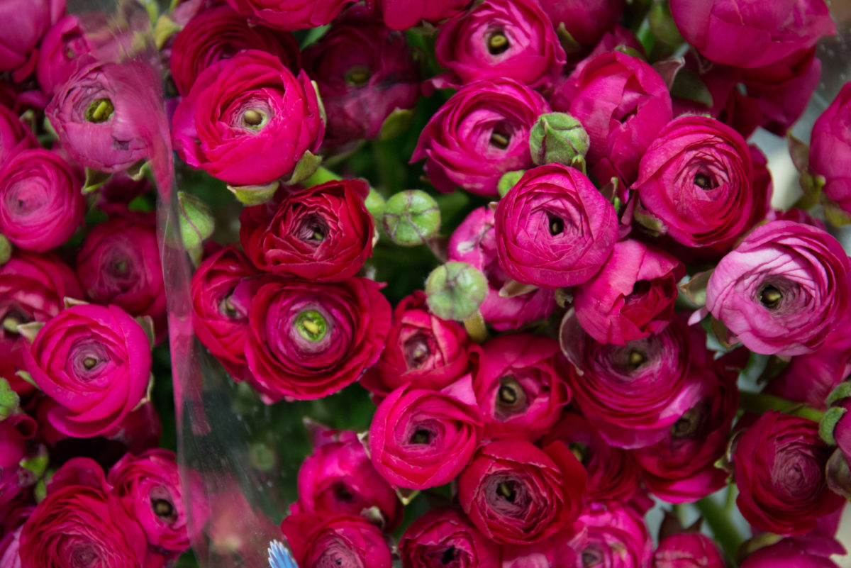 New Covent Garden Flower Market March 2018 In Season Report Rona Wheeldon Flowerona Ranunculus Elegance Hot Pink At Dennis Edwards Flowers