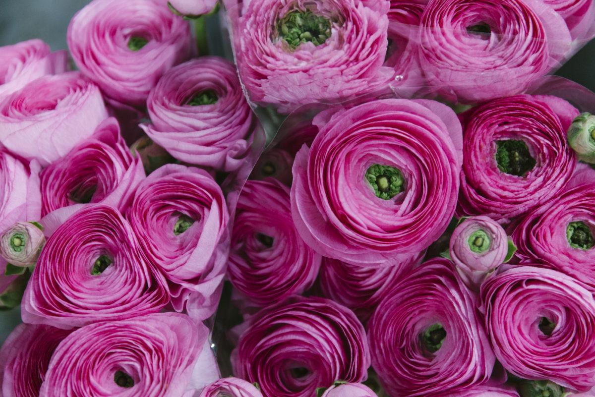New Covent Garden Flower Market March 2019 A Florists Guide To Ranunculus Rona Wheeldon Flowerona Light Pink Cloni Ranunculus At Zest Flowers