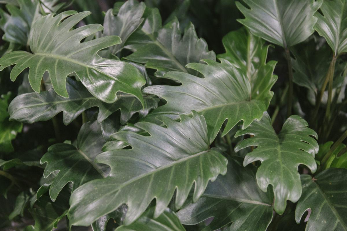 New Covent Garden Flower Market March 2019 In Season Report Rona Wheeldon Flowerona Philodendron Xanadu Plants At Quality Plants