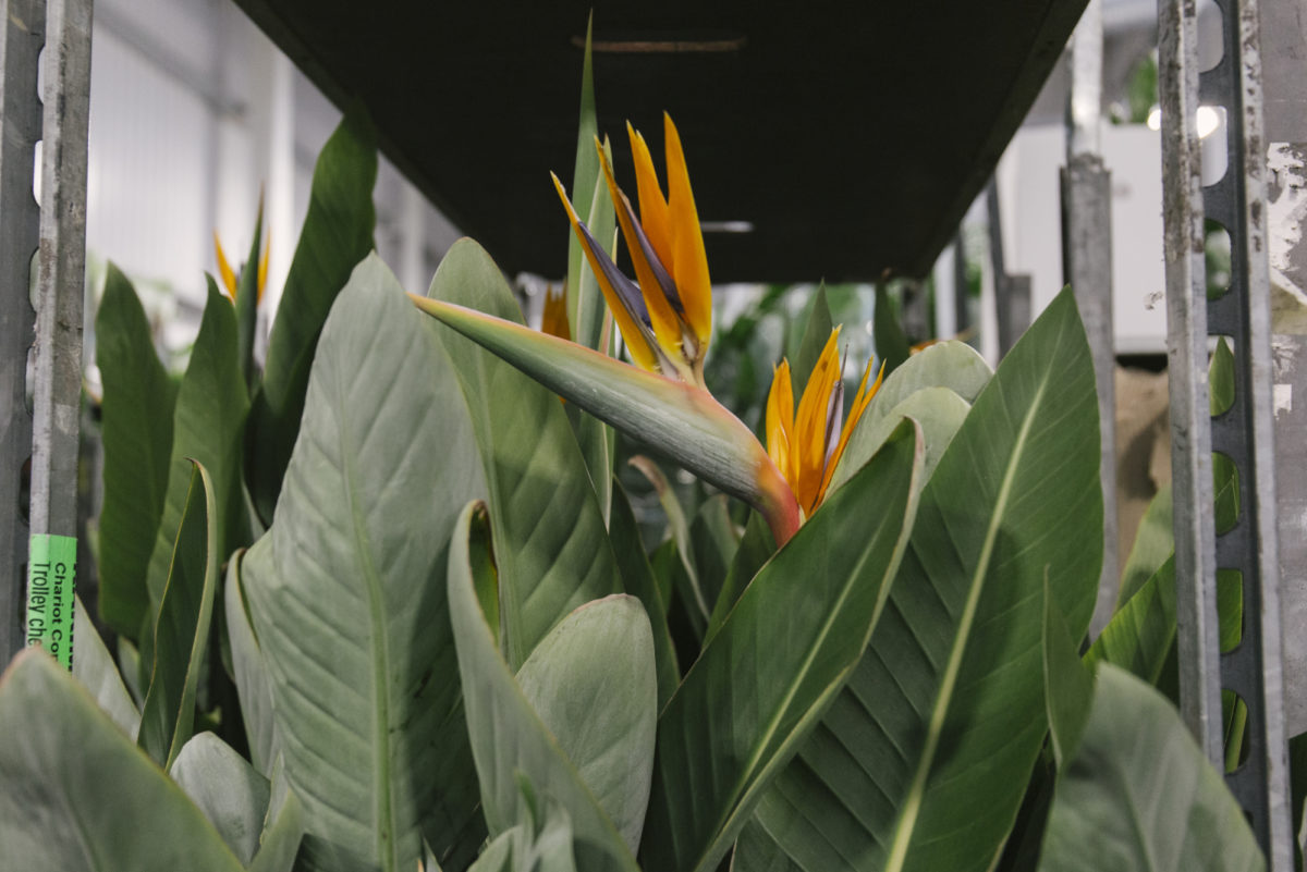 New Covent Garden Flower Market March 2019 In Season Report Rona Wheeldon Flowerona Tall Strelitzia Plants At Arnott Mason