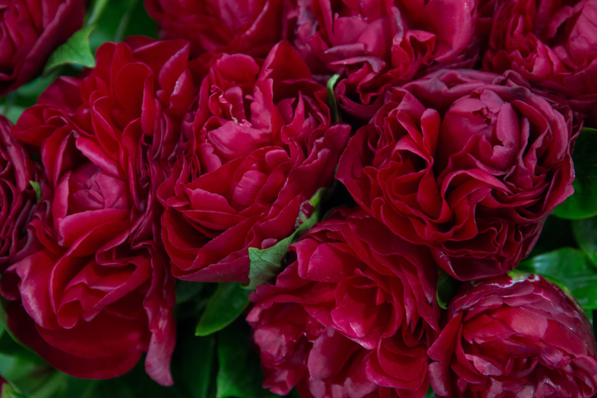 New Covent Garden Flower Market May 2018 A Florists Guide To Peonies Rona Wheeldon Flowerona Henry Bockstoce Peony At Bloomfield