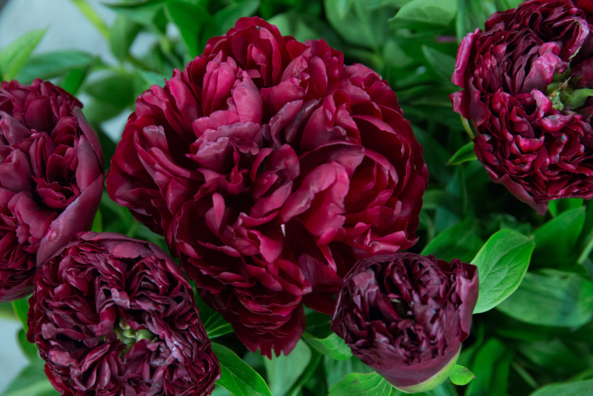 New Covent Garden Flower Market May 2018 A Florists Guide To Peonies Rona Wheeldon Flowerona Peter Brand Peony At Bloomfield