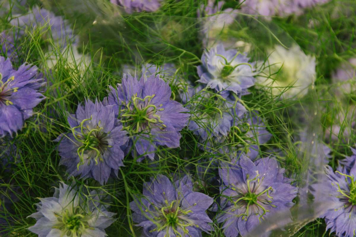 New Covent Garden Flower Market May 2018 In Season Report Rona Wheeldon Flowerona Blue Nigella At Dennis Edwards Flowers