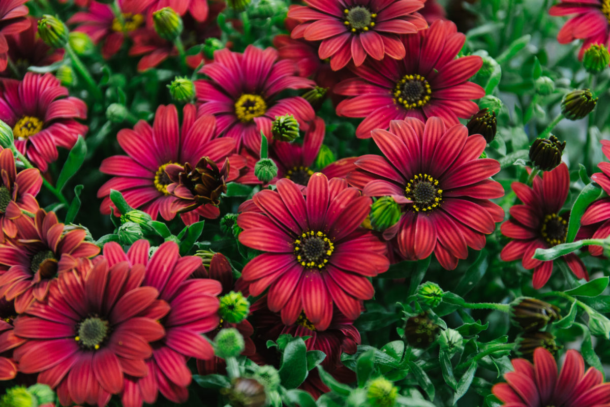 New Covent Garden Flower Market May 2018 In Season Report Rona Wheeldon Flowerona British Osteospermum At L Mills