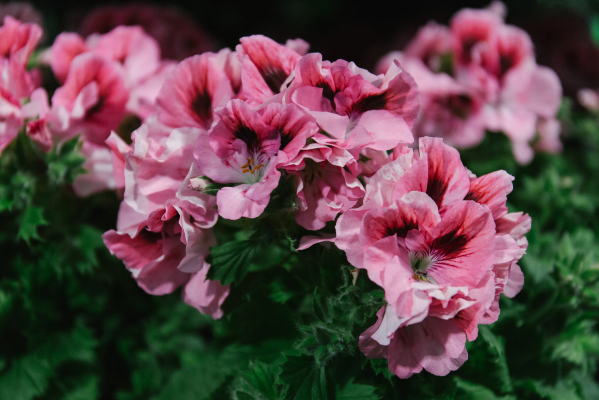 New Covent Garden Flower Market May 2018 In Season Report Rona Wheeldon Flowerona English Pelargonium Grown At The Windsor Estate At Arnott Mason