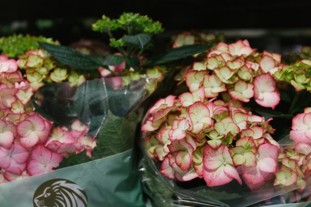 New Covent Garden Flower Market May 2018 In Season Report Rona Wheeldon Flowerona Hydrangea Macrophylla ' Tivoli Red' At Quality Plants