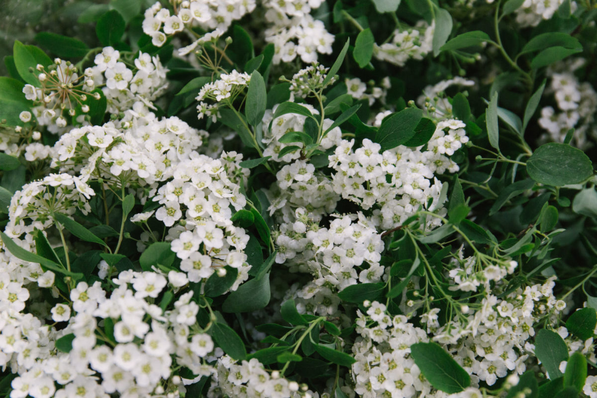 New Covent Garden Flower Market May 2018 In Season Report Rona Wheeldon Flowerona Spiraea At Dg Wholesale Flowers