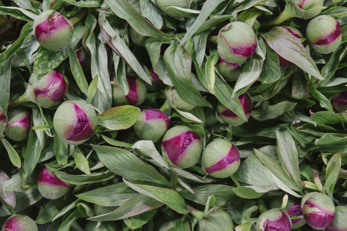New Covent Garden Flower Market May 2019 In Season Report Rona Wheeldon Flowerona British Peonies At Pratley