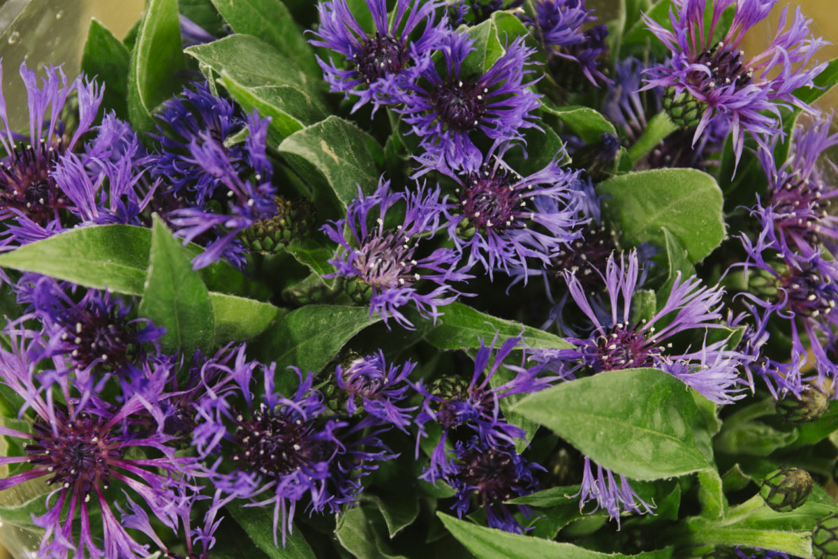 New Covent Garden Flower Market May 2019 In Season Report Rona Wheeldon Flowerona Centaurea Montana At Dennis Edwards Flowers
