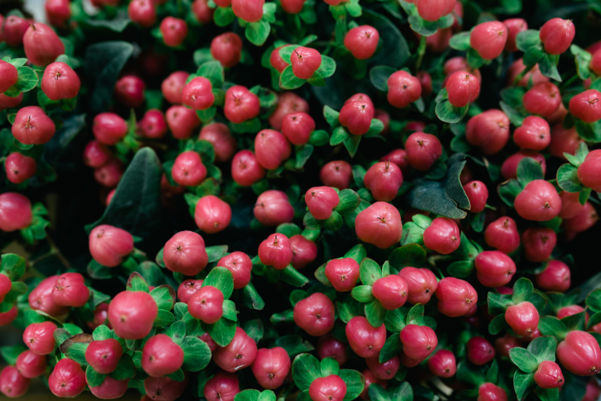 New Covent Garden Flower Market November 2017 Product Profile Report Hypericum Androsaemum Sweet Romance At Zest Flowers