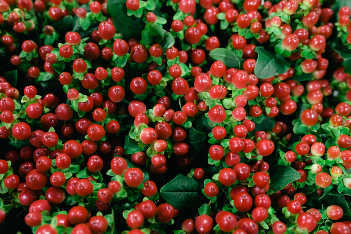 New Covent Garden Flower Market November 2017 Product Profile Report Hypericum Androsaemum Tomato Flair At Floral Garden Group